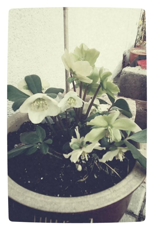 Christmas Rose at -3 Celcius