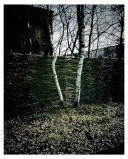 Birch.1